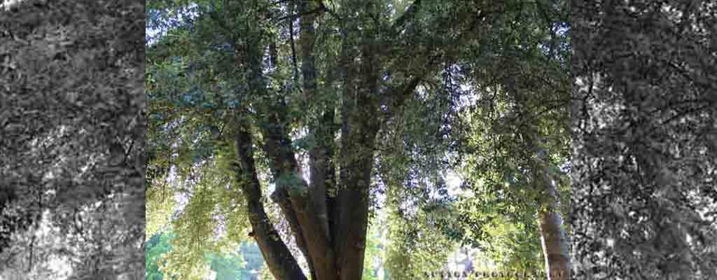 Single_Tree_Top_BW